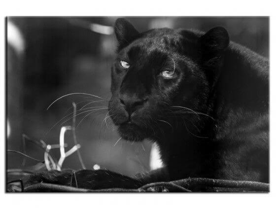 Tableau noir et blanc la panthère