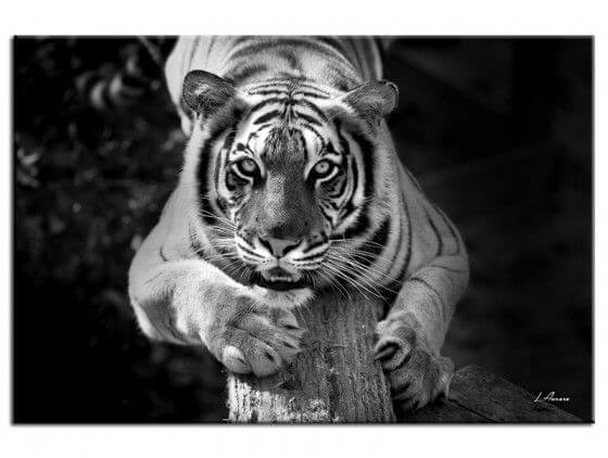 Tableau noir et blanc tigre jade