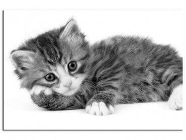 Tableau déco murale petit chat noir et blanc