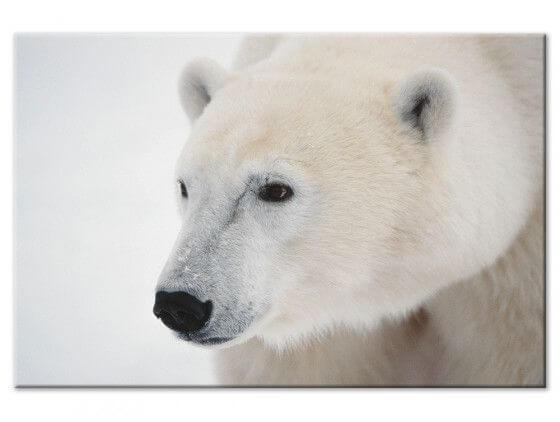 Tableau photo ours blanc polaire