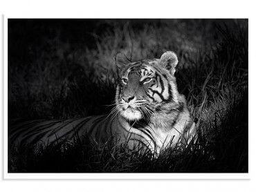 Affiche Tigre assoupi dans son rayon de lumière
