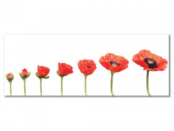 Tableau decoratif etape de floraison du coquelicot