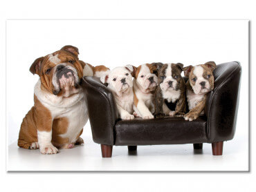 Tableau deco famille de bulldogs anglais