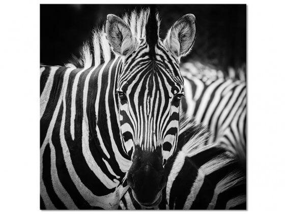 Tableau decoratif noir et blanc zebre
