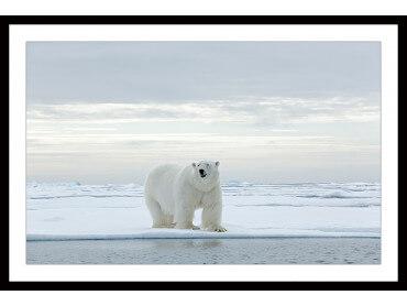 Affiche deco Ours Blanc sur la Banquise