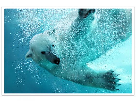Affiche Ours blanc en plein plongeon