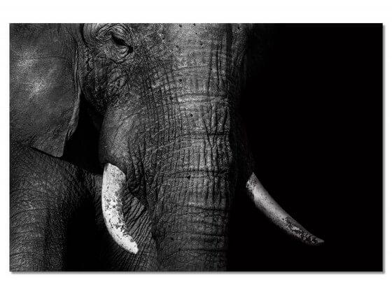 Tableau Animaux Elephant Loxodonta Africana