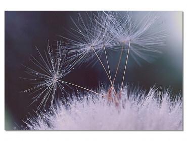 Tableau Fleurs Dandelion Seeds