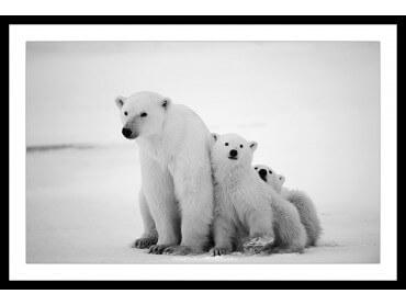 Affiche Animaux Family Polar Bear