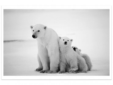 Affiche Animaux Family Polar Bear