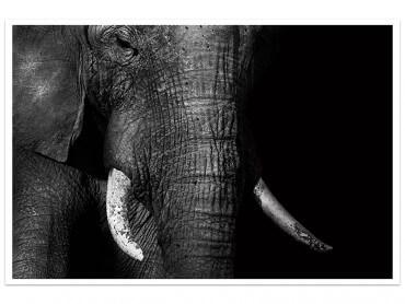 Affiche Animaux Elephant Loxodonta Africana