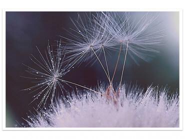 Affiche Fleurs Dandelion Seeds