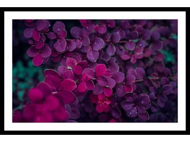 Affiche Fleurs de Lilas au Printemps