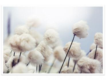 Affiche Fleurs de coton au vent