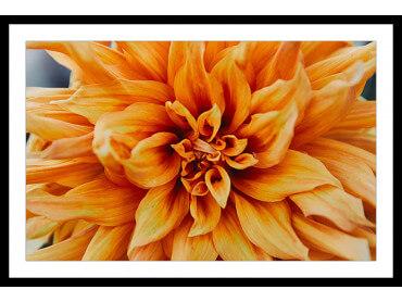 Affiche Fleurs Coeur de Chrysanthème