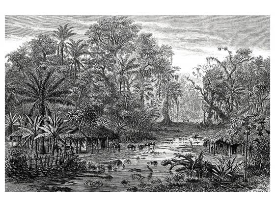 Affiche Gravure Forêt de Mangroves