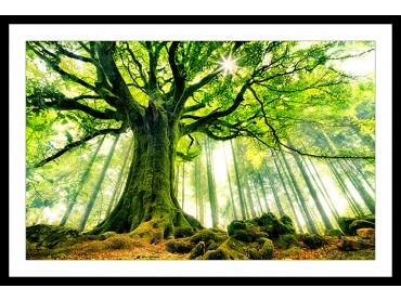 Affiche Nature l 'hêtre de Ponthus
