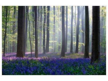 Affiche Nature jacinthes et sous-bois