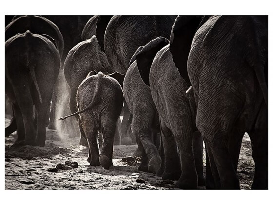 Affiche Animaux Cap Afrique