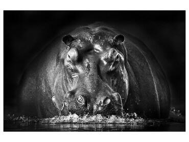 Affiche Animaux Portrait Hippo