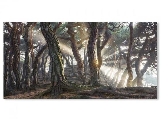 Tableau Paysage forêt de pins sacrés