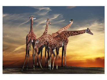 Tableau Animaux Girafes Meeting