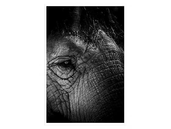 Affiche Eléphant Close Up