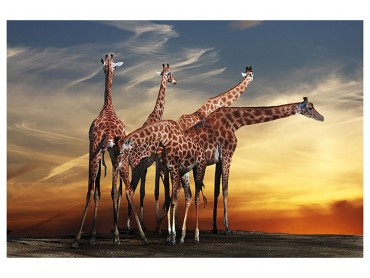 Affiche Animaux Girafes Meeting