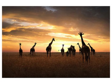 Affiche Animaux Girafes Family