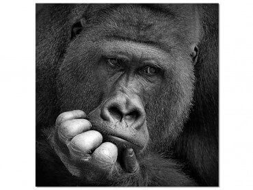 Tableau Animaux Gorilla Meditation