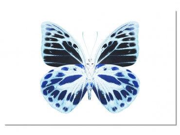 Tableau Animaux Papillon de nuit bleu