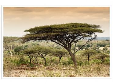 Poster animaux Impala d'Afrique