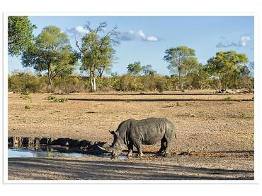 Affiche Animaux Awa le Rhino