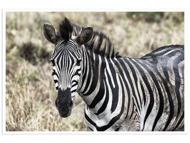 Poster Animaux zebre en pleine savane
