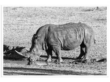 Poster Animaux Awa le Rhino N&B
