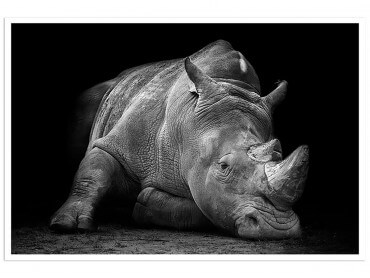 Poster Animaux Strong Rhino