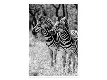 Poster photo animaux Zebre en duo