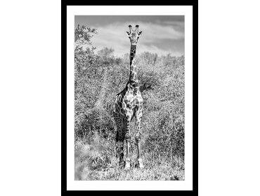 Affiche Animaux Girafe en instantanée