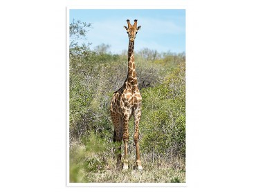 Poster Animaux Girafe La Sophie