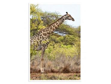 Poster Animaux Long cou en Savane