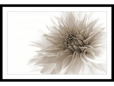Affiche Fleurs Dahlia en monochrome