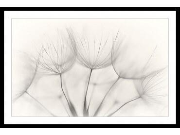Affiche Fleurs Dandelion