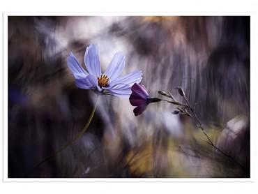 Affiche Fleur Rencontre violette