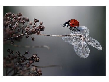 Affiche Fleur Ladybird on a Poppy