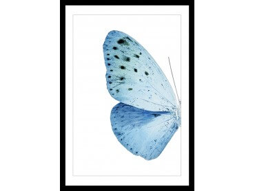 Affiche Collection papillon Morpho Bleu