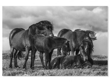 Tableau animaux chevaux au vent