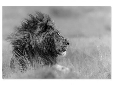 Tableau animaux lion wind