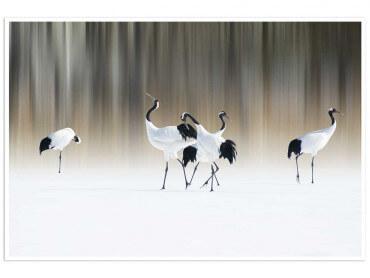 Affiche animaux japanese crane
