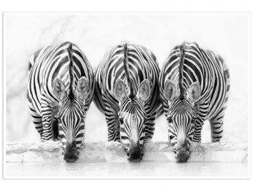 Affiche animaux curious zebra