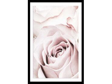 Affiche fleurs rosa romantica